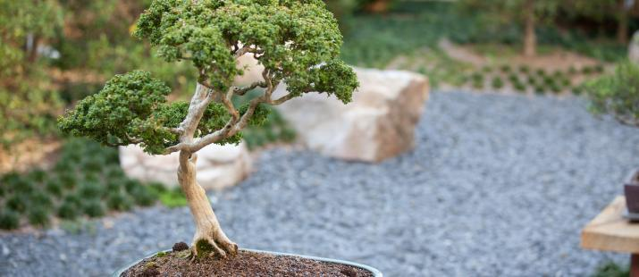 bonsai_small2