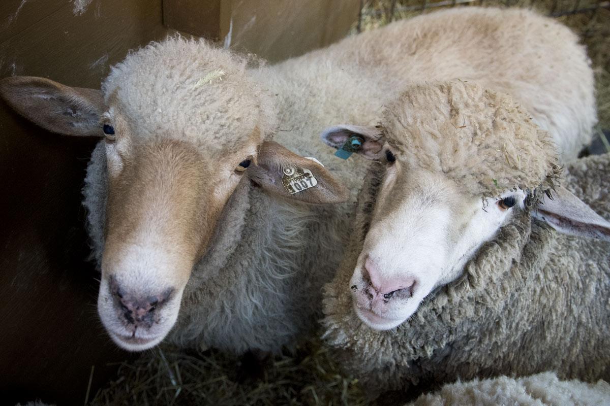 WEB-SHEEP-ST-PATRICKS-NYC-002-Jeffrey-Bruno