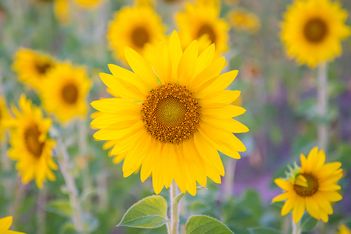 web-flower-sunflower-shutterstock_556198003