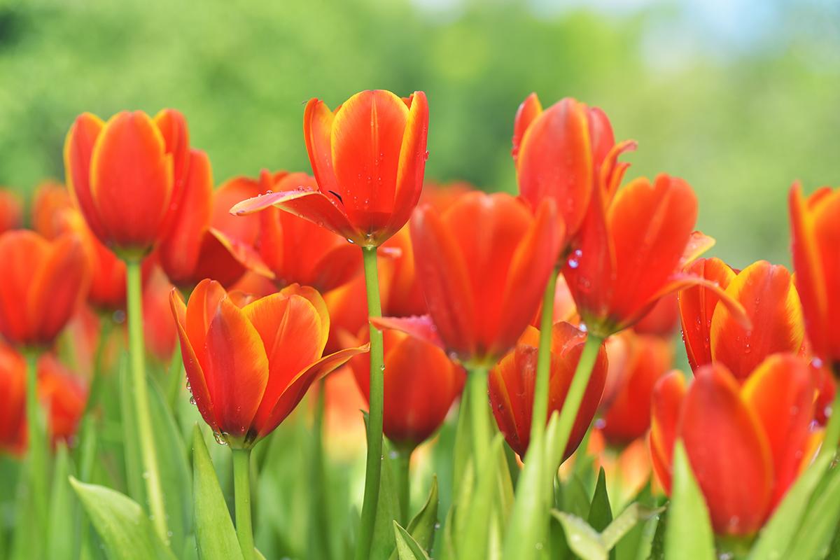 web-flower-tulip-shutterstock_237675727